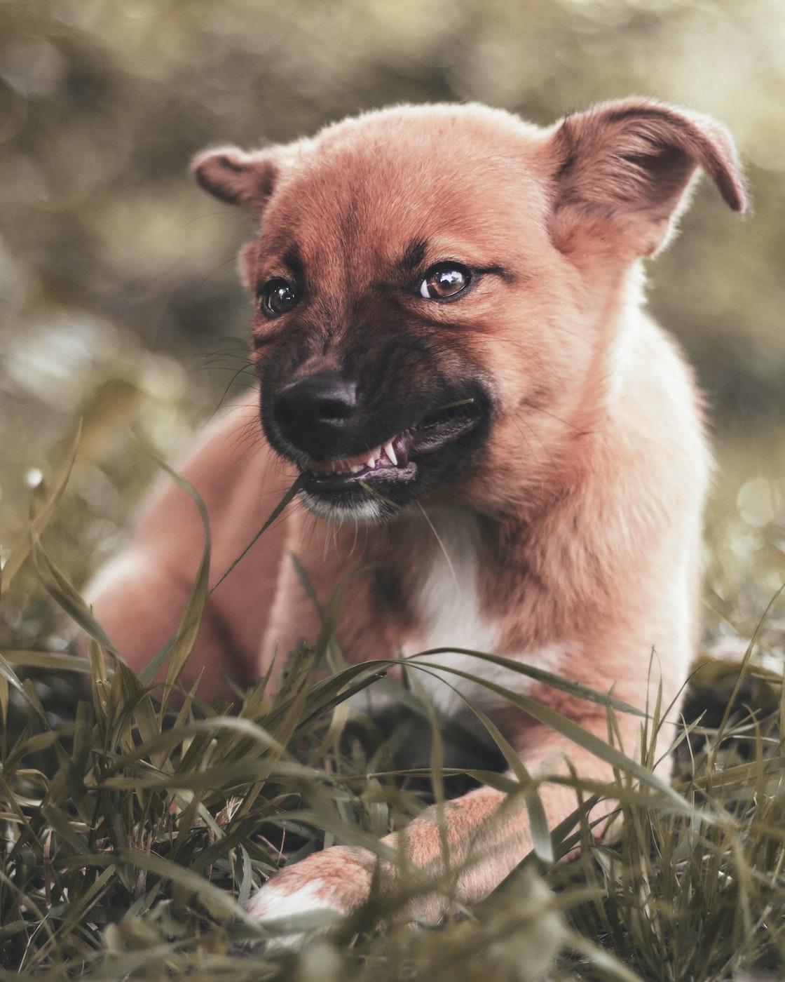 Chien qui montre les dents_Reglementation chien au Quebec